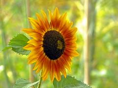 Sunflower (Cornishcarolin. Stupid busy!! xx) Tags: cornwall httpswwwedenprojectcom nature flowers sunflowers plants