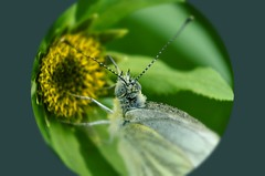 White butterfly take in some energy. Syyskuun kaaliperhonen. (hoitaja44) Tags: luonto nature perhonen butterfly naturepics luontokuva luontokuvaus maaseutu countryside macrodreams