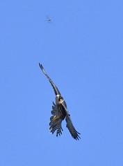 Target Acquired... (KHR Images) Tags: hobby falcosubbuteo falcon wild bird birdofprey flying hunting inflight dragonfly fendraytonlakes cambridgeshire eastanglia wildlife nature nikon d500 kevinrobson khrimages