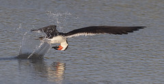 Black Skimmer  {Explored!  Thank you very much!! } (Mawrter) Tags: blackskimmer skimmer fishing splash speed skill flight water wings nature bird wild canon forsythenwr nj newjersey motion action specanimal explore explored interest interesting views view specanimalphotooftheday