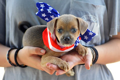 American puppy (radargeek) Tags: bethanyfreedomfestival bethany 2018 july 4thofjuly american flag stars stripes oklahoma dog puppy portrait cute