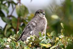 Sparrowhawk, Garden , Mid Norfolk (JohnMannPhoto) Tags: sparrowhawk garden midnorfolk