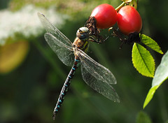 Migrant Hawker on Rose Hips (#Dave Roberts#) Tags: insect wild wildlife autumn rose hip rosehip macro close up colour scarlet wow dragonfly migrant hawker norfolk uk