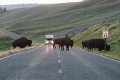 (JuanCarViLo) Tags: national park yellowstone montana buffalo animals wildlife lamar valley sunset wyoming