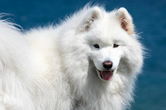 The White Dog (Robert F. Carter Travels) Tags: white dogs pets samoyed samoyeds