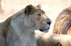 Lioness (nico67) Tags: lioness lion africa
