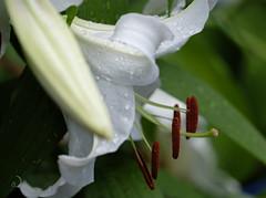 Pollen (bd168) Tags: lys lily stamens étamines white blanc xt10 xf90mmf3rlmwr jardin garden summer été closeup grosplan