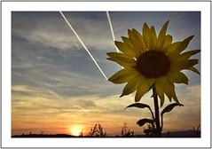 Herbststimmung (domenicaviehberger) Tags: blüte sonnenrose himmel scheinen strahlen blume gros sonnenuntergang sonnenblumenfeld natur landschaft farben farbendernatur niederösterreich herbst stimmung sunflower sky reise