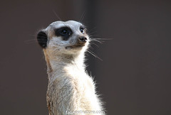 Suricate (fauneetnature) Tags: suricate meerkat mammifère animalier animal valléedestortues nature naturephotography photoanimalière photonature faune