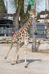Young giraffe running (Tambako the Jaguar) Tags: giraffe young running portrait neck action cute sand kinderzoo knie zoo rapperswil switzeland nikon d850