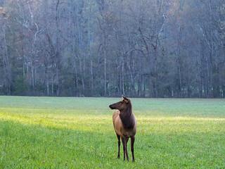 IMGPJ06226C_Fk - Great Smoky Mountain National Park - Elk