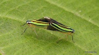 Leafhoppers mating, Beirneola sp., Cicadellidae
