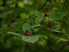 Dogwood berries (Dendroica cerulea) Tags: floweringdogwood cornusflorida cornus cornaceae cornales tree berries summer rutgersecologicalpreserve livingstoncampus rutgersuniversity middlesexcounty nj newjersey