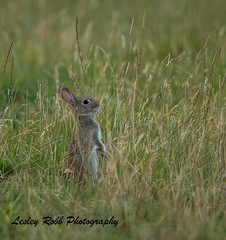 Moorland Rabbit (Lesley Robb) Tags: rabbit