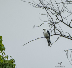 Swallow-tailed Kite Loudoun County, Virginia (AnthonyVanSchoor) Tags: anthonyvanschoor maryland usa swallow tailed kite virginia documentation