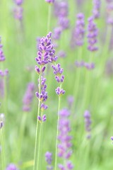 Lavender (Karen_Chappell) Tags: lavender green purple flower floral nature macro pastel garden botanicalgarden stjohns summer canonef100mmf28usmmacro bokeh soft flowers canada newfoundland nfld atlanticcanada avalonpeninsula