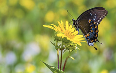 Spicebush Swallowtail (Bernie Kasper (4 million views)) Tags: art berniekasper butterfly butterflies bug bugs color d600 family flower floral flowers hiking indiana indianawildflowers insect insects indianabutterflies light love bloom madisonindiana macro nature nikon naturephotography new outdoors outdoor old outside photography plant park raw summer sigma travel trail unitedstates usa 7dwf wildflower wildflowers
