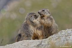 Jeux de Marmotons (Lumières Alpines) Tags: didier bonfils goodson73 marmottes lautaret faune alpes france