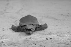 Caguama turtle (Caretta Caretta) (Jose_Herrera_B) Tags: origamidesign origamilatinoamericano endangeredspecies origamiturtle joseherreraorigami joseherrera papiroflexia paperart paperartist origami artist