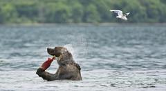 Shaking with fish 1 (paolo_barbarini) Tags: kamchatka kuril wildlife bears orsi water acqua salmon lake nationalgeographic animalplanet