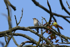 BG4A4421 Spotted Flycatcher (dwarren16011) Tags: flycatcher spotted rspb rainham