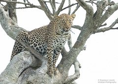 Female Leopard - Panthera pardus (rosebudl1959) Tags: 2018 kenya masaimara zebraplains femaleleopard bahatisdaughterbella2