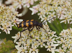 2018_07_0484 (petermit2) Tags: fourbandedlonghornbeetle longhornbeetle fourbandedlonghorn longhorn beetle centenaryriversidereserve rotherham southyorkshire yorkshire yorkshirewildlifetrust ywt wildlifetrust wildlifetrusts