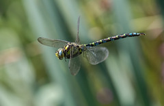 Migrant Hawker 02-09-2018-6824 (seandarcy2) Tags: insects migrant hawker animals wildlife tring herts uk dragonfly handheld