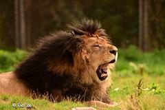 King (Foto . Joe) Tags: animal king leeuw nikon nikond500 tamron150600mm tamron bigcat cat bigfive
