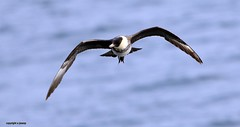 Pomarine Skua J78A0677 (M0JRA) Tags: birds flight flying wildlife rats walks gardens parks fields trees lakes ponds ducks swans rspb