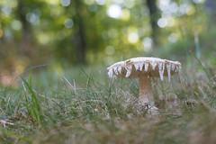 Melting Mushroom (Happy Bokeh Wednesday) (repete7) Tags: mushroom fungus bokeh hbw niftyfifty