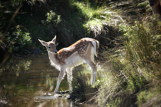 Backlit shot of a young fallow deer crossing the stream!