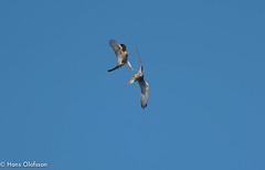 Sparvhök leker med Tornfalk (Hans Olofsson) Tags: bird bivråk fågel fågelar ottenby sparvhök sweden raptors öland tornfalk sparrowhawk kestrel falco