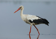 White Stork --- Ciconia ciconia (creaturesnapper) Tags: danubedelta romania birds waterbirds waterfowl europe waders whitestork ciconiaciconia