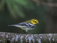 Black-throated Geen Warbler   1Z9A4871 (DCLbyrdnyrd) Tags: blackthroatedgreen songbird warbler