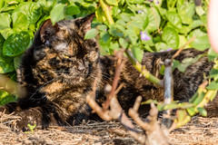 Miss Kitty (Phil Brown C130) Tags: misskitty kitty bubbakitty bubba tortoiseshellcat tortie pussycatfurkids furkid cat cats pussycat pussy feline