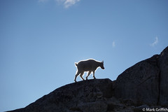 The Goat and the Sun (Mark Griffith) Tags: alpinelakewilderness 20180903dsc00148 enchantments hike hiking mtbakersnoqualmieforest scramble scrambling sonyrx100va trailrunning witchestower