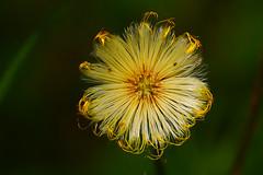 wild flower (murtica27) Tags: flower green yellow white wildlife nature macro makro sony alpha plant