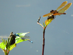 Amberwing and friend IMG_0454 (Jennz World) Tags: ©jennifermlivick mountpleasantnaturepark mountpleasant ontario canada dragonfly damselfly caterpillar butterfly