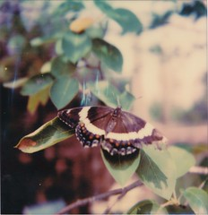 butterfly (buttercup caren) Tags: butterfly whiteadmiral limentisarthemis polaroid polaroidoriginals slr680