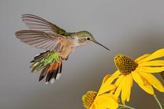 Broad-tailed Hummingbird (Eric Gofreed) Tags: arizona broadtailedhummingbird hummingbird mybackyard sedona villageofoakcreek multiflashphotography