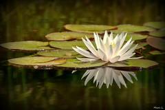 Reflet étoilé (marc.lacampagne) Tags: nymphea dof tamron canon oes dslr ngc nature fleur