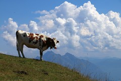 On the top (annazelei) Tags: grass landscape mountain sky animal field top peak fauna cow cattle swiss switzerland nature natural naturaleza summer trekking clouds pose green grün blau blue highland farm schwyz kulm schweiz alpin