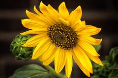 Summer Flower (DJ Wolfman) Tags: flower yellow summer olympus olympusomd 12100mmf4zuiko zuiko zd