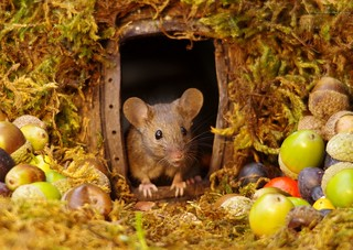 House mouse in a mossy hole with acorns and berry's (1)