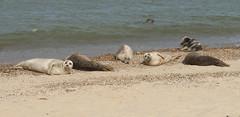 2018_Norfolk_HorseyBeach_Seals_d (atkiteach) Tags: norfolk uk england horsey horseybeach sea seaside northsea beach seal seals