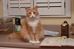 """Do I have your attention yet?"" --Jimmy (rootcrop54) Tags: jimmy orange ginger tabby longhaired longhair male kitchen counter helper neko macska kedi 猫 kočka kissa γάτα köttur kucing gatto 고양이 kaķis katė katt katze katzen kot кошка mačka gatos maček kitteh chat ネコ cc100 cc400"