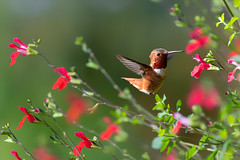 A Summery Setting (Patricia Ware) Tags: allenshummingbird birdsinflight california canon ef400mmf4doisiiusmlens handheld palosverdespeninsula selasphorussasin httpspwarezenfoliocom ©2018patriciawareallrightsreserved unitedstates us specanimal sunrays5