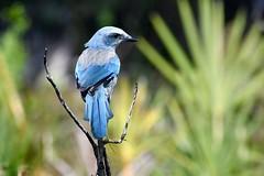 Florida Scrub Jay (bmasdeu) Tags: florida scrub jay blue bird endangered species savetheplanet statepark naturalpreserve wildlife protect