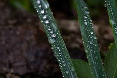 Regenperlen (maikkregel) Tags: maikkregel sony austria salzkammergut stieg wochenendtrip regentag makro nahaufnahme gras tropfen regen